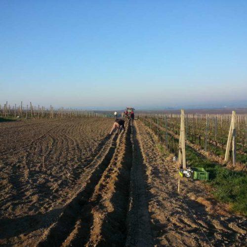 Výsadba vinice